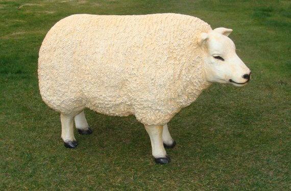 texel schapen (5)